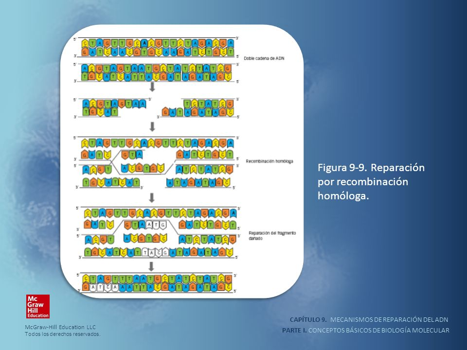 Figura 9-9. Reparación por recombinación homóloga.