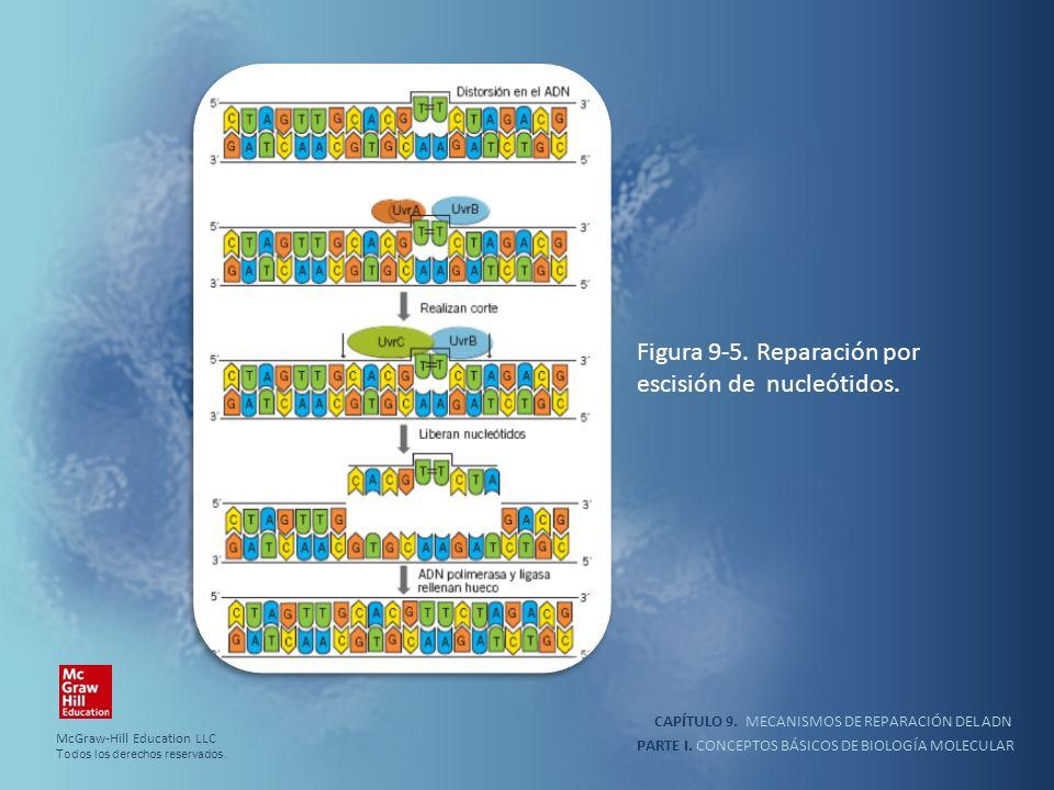Figura 9-5. Reparación por escisión de nucleótidos.