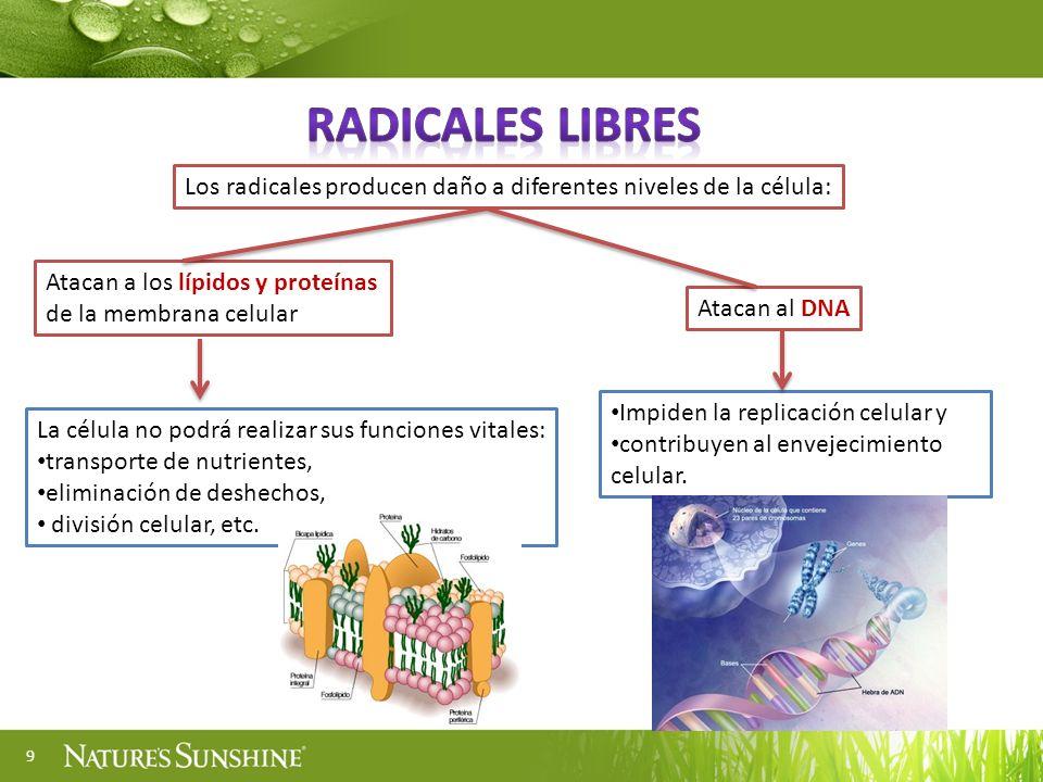 Radicales libres Los radicales producen daño a diferentes niveles de la célula: Atacan a los lípidos y proteínas de la membrana celular.