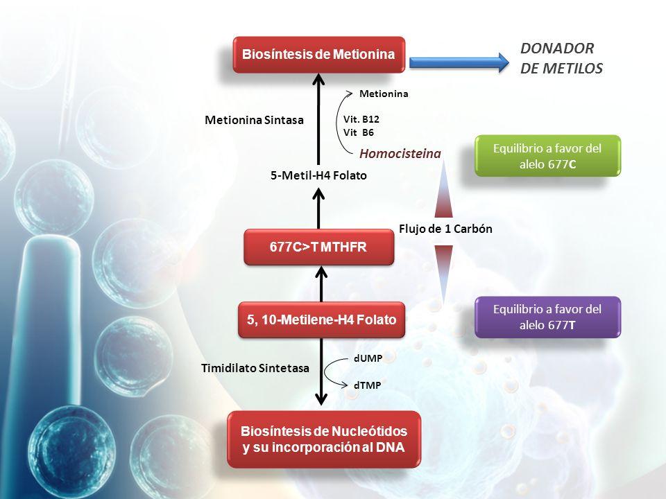 DONADOR DE METILOS Homocisteina Biosíntesis de Metionina