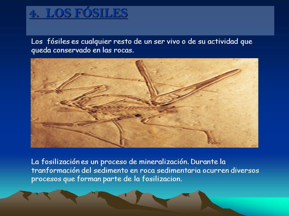 4. LOS FÓSILES Los fósiles es cualquier resto de un ser vivo o de su actividad que queda conservado en las rocas.