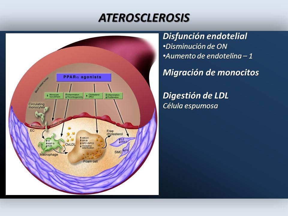 ATEROSCLEROSIS Disfunción endotelial Migración de monocitos