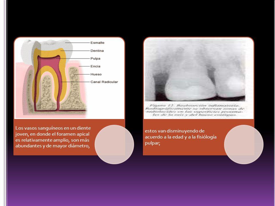 Los vasos sanguíneos en un diente joven, en donde el foramen apical es relativamente amplio, son más abundantes y de mayor diámetro,