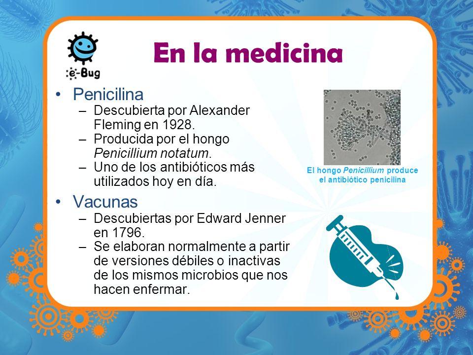 El hongo Penicillium produce el antibiótico penicilina