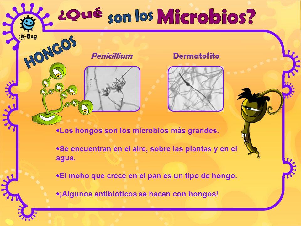 Penicillium Dermatofito