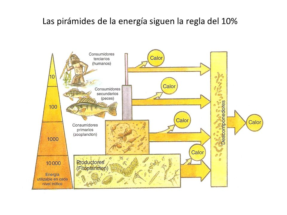 Las pirámides de la energía siguen la regla del 10%