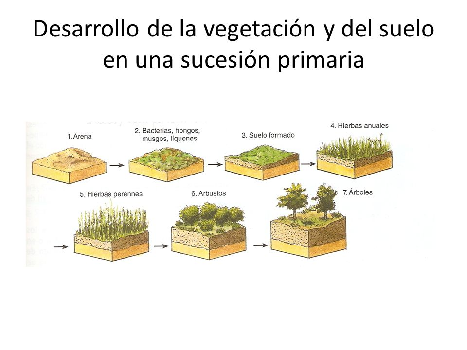 Desarrollo de la vegetación y del suelo en una sucesión primaria