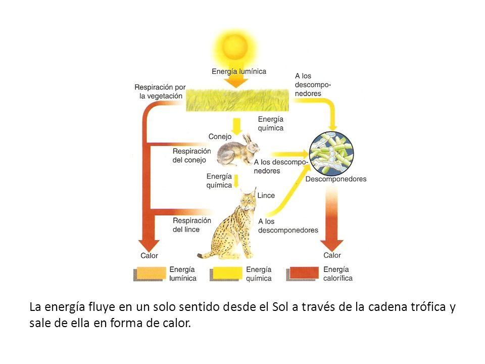 La energía fluye en un solo sentido desde el Sol a través de la cadena trófica y sale de ella en forma de calor.