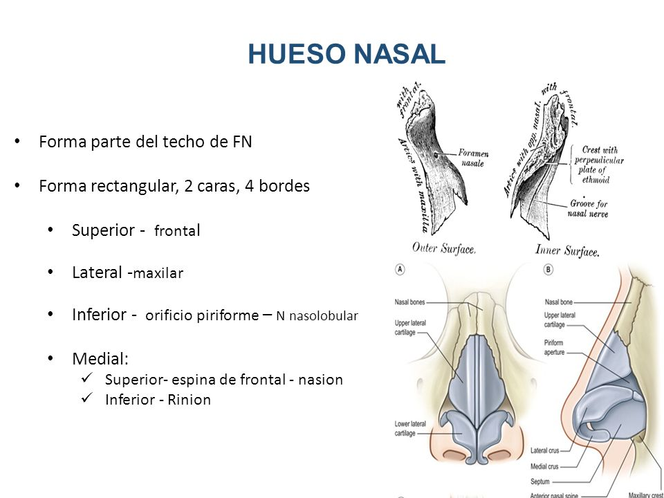 Increíble Anatomía Hueso De La Nariz Ornamento - Anatomía de Las ...
