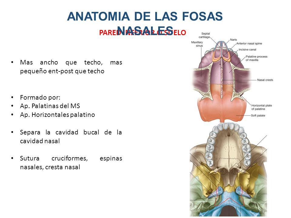 Hermosa Anatomía De La Válvula Nasal Bosquejo - Anatomía de Las ...