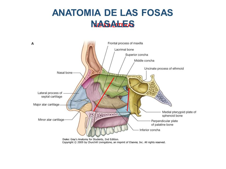 contempor neo cavidades nasales regalo anatom a de las