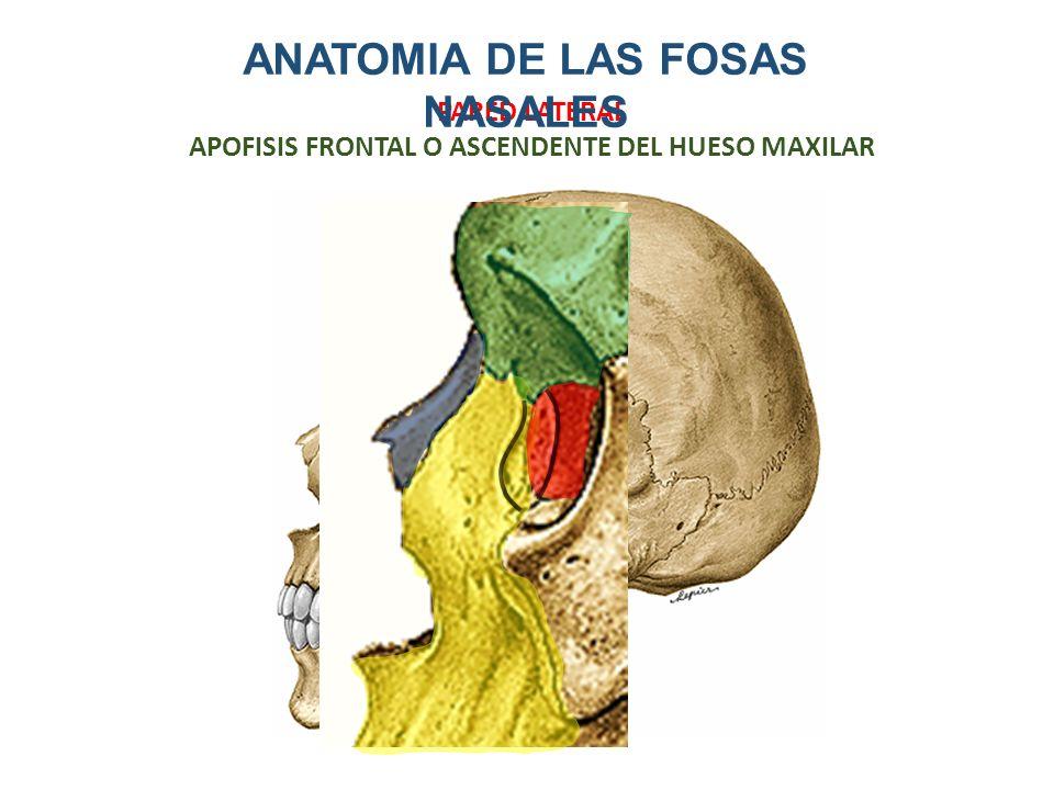 Encantador Anatomía Ct Hueso Maxilar Bosquejo - Imágenes de Anatomía ...