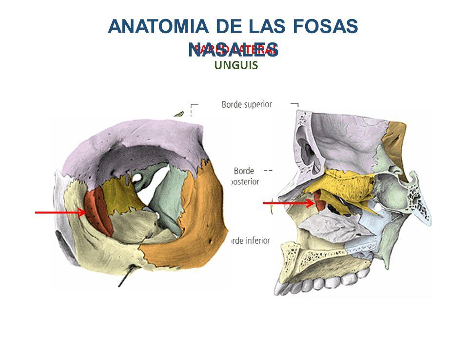 Asombroso Anatomía Cornetes Nasales Colección de Imágenes - Anatomía ...