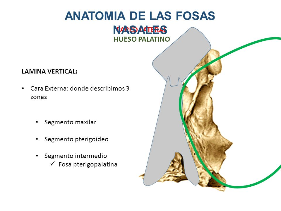 Dorable Anatomía Fosa Adorno - Anatomía de Las Imágenesdel Cuerpo ...
