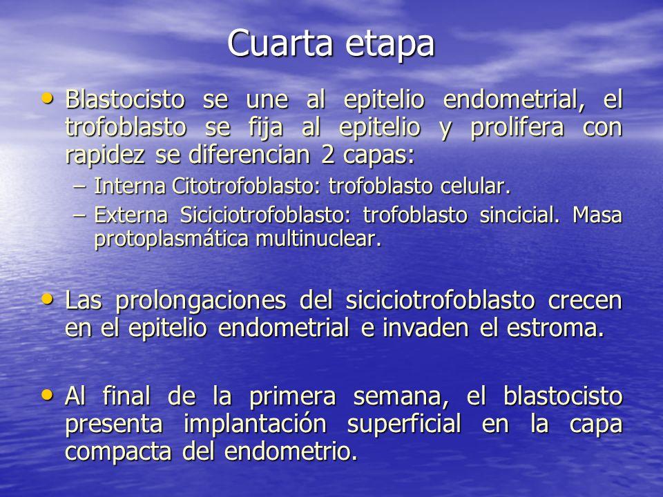 Cuarta etapaBlastocisto se une al epitelio endometrial, el trofoblasto se fija al epitelio y prolifera con rapidez se diferencian 2 capas: