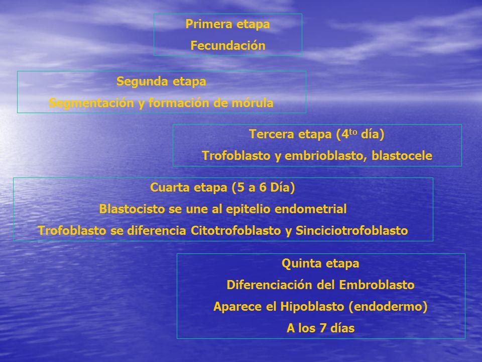 Segmentación y formación de mórula