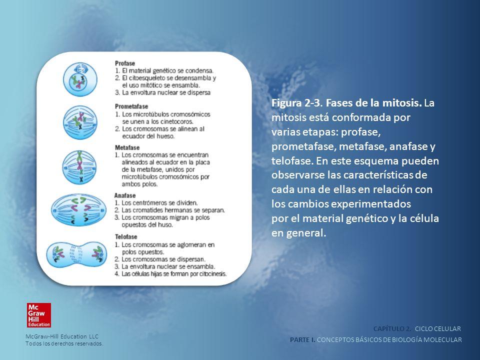 Figura 2-3. Fases de la mitosis. La mitosis está conformada por