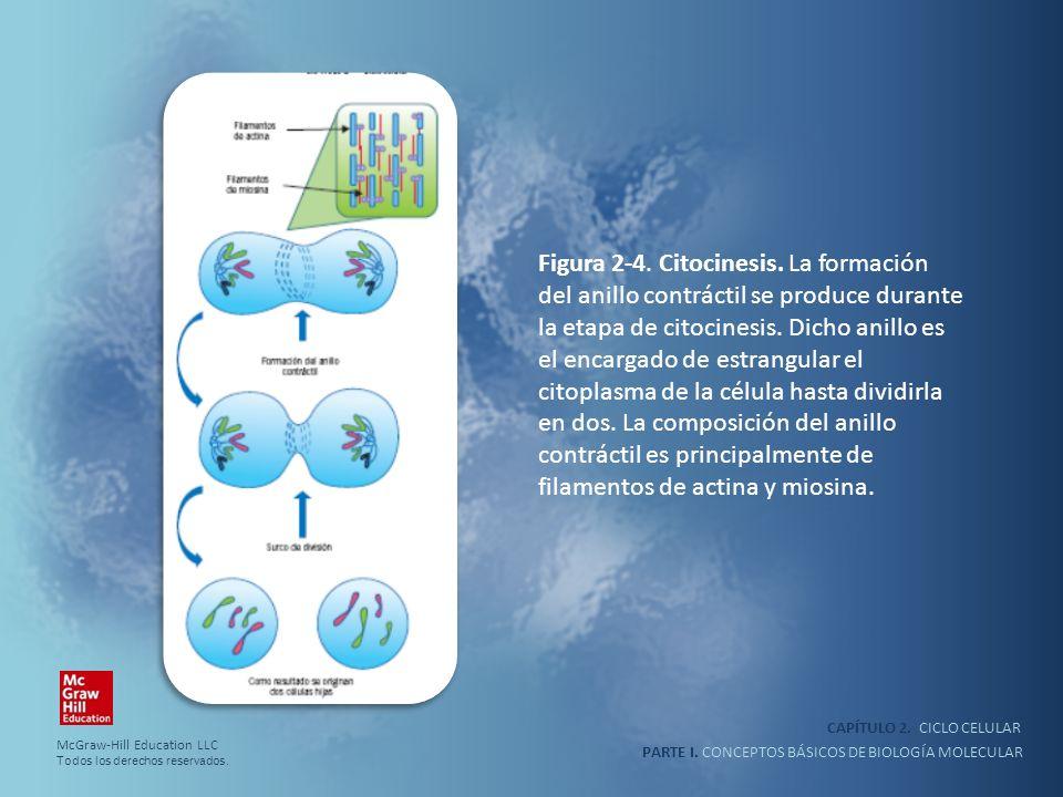 Figura 2-4. Citocinesis. La formación del anillo contráctil se produce durante la etapa de citocinesis. Dicho anillo es el encargado de estrangular el citoplasma de la célula hasta dividirla en dos. La composición del anillo contráctil es principalmente de filamentos de actina y miosina.