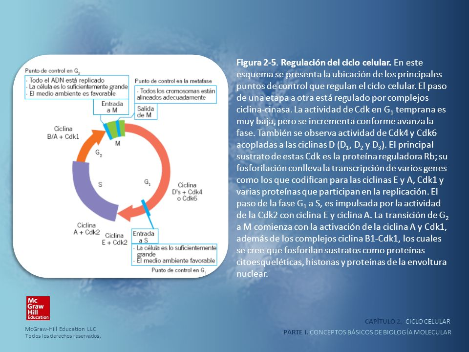 Figura 2-5. Regulación del ciclo celular