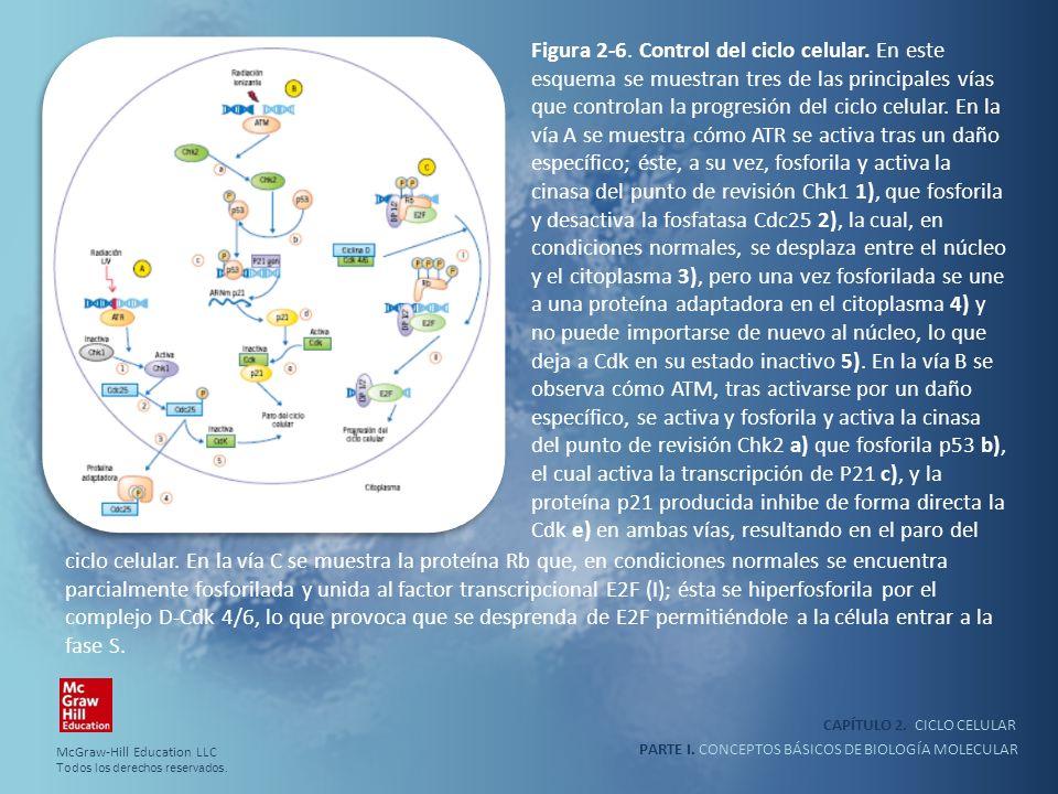 Figura 2-6. Control del ciclo celular
