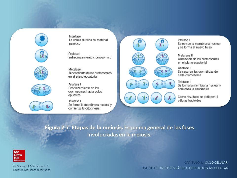 Figura 2-7. Etapas de la meiosis. Esquema general de las fases