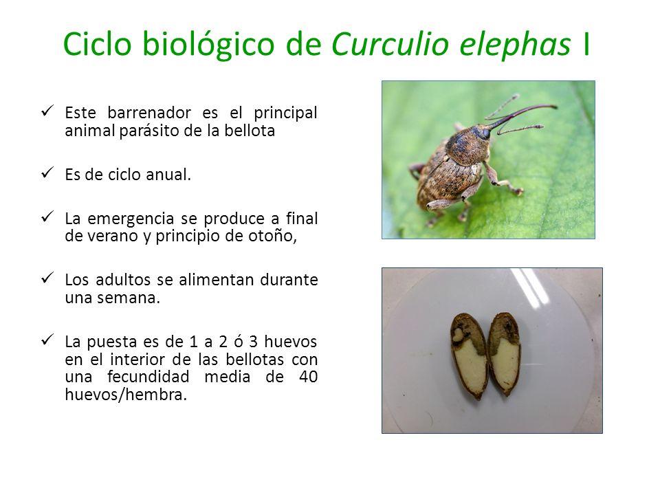 Ciclo biológico de Curculio elephas I
