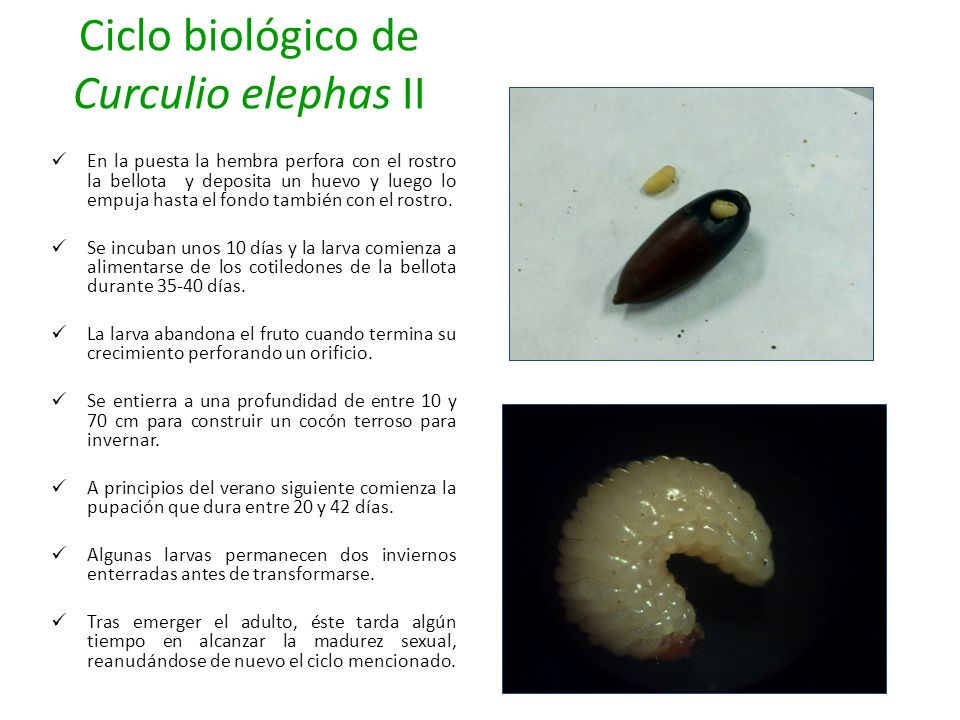 Ciclo biológico de Curculio elephas II