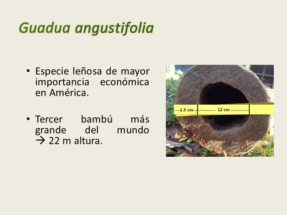Guadua angustifolia Especie leñosa de mayor importancia económica en América.