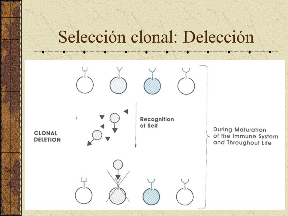 Selección clonal: Delección