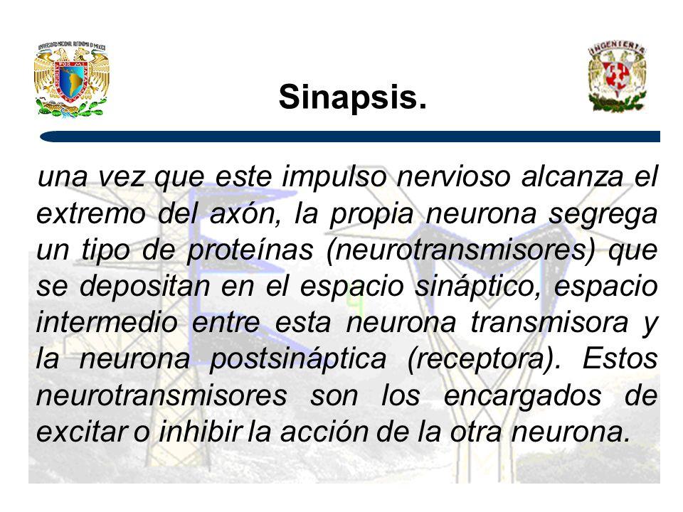 Sinapsis.