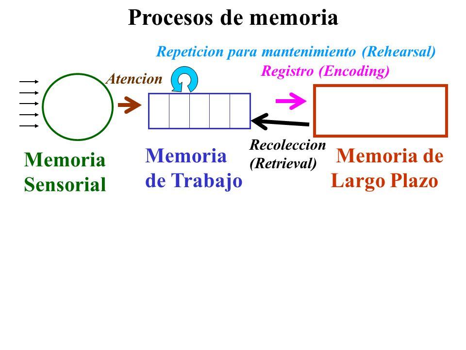 Procesos de memoria Memoria de Largo Plazo Memoria de Trabajo Memoria