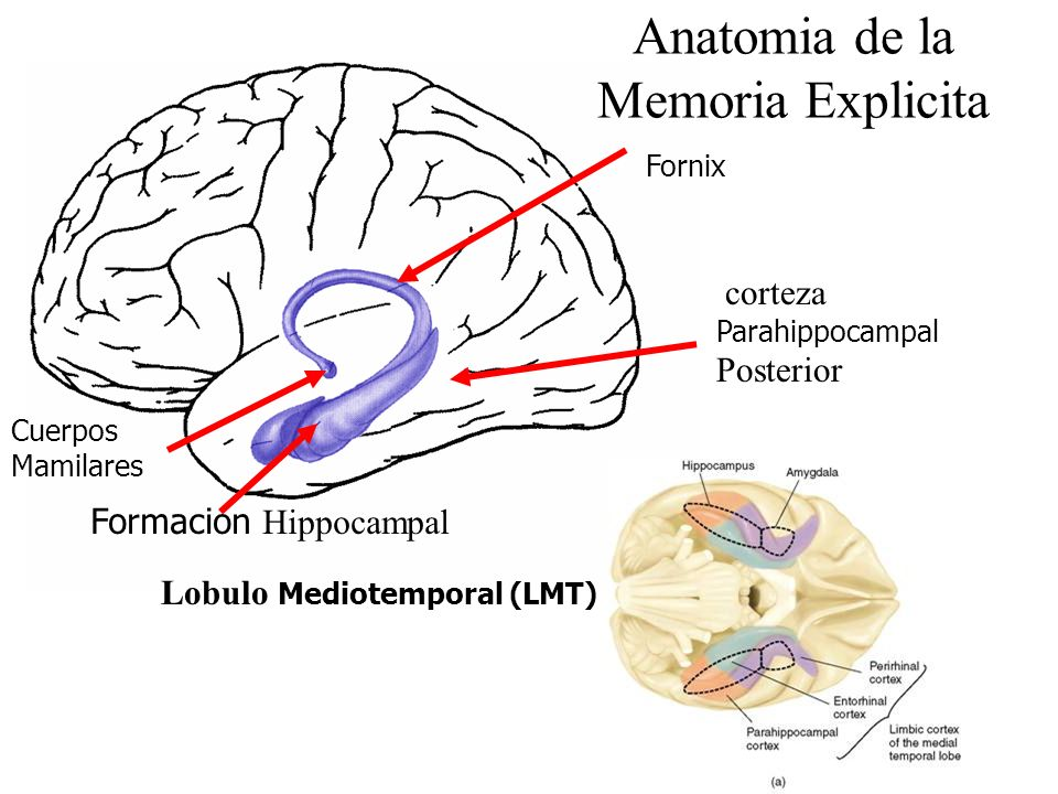 Anatomia de la Memoria Explicita