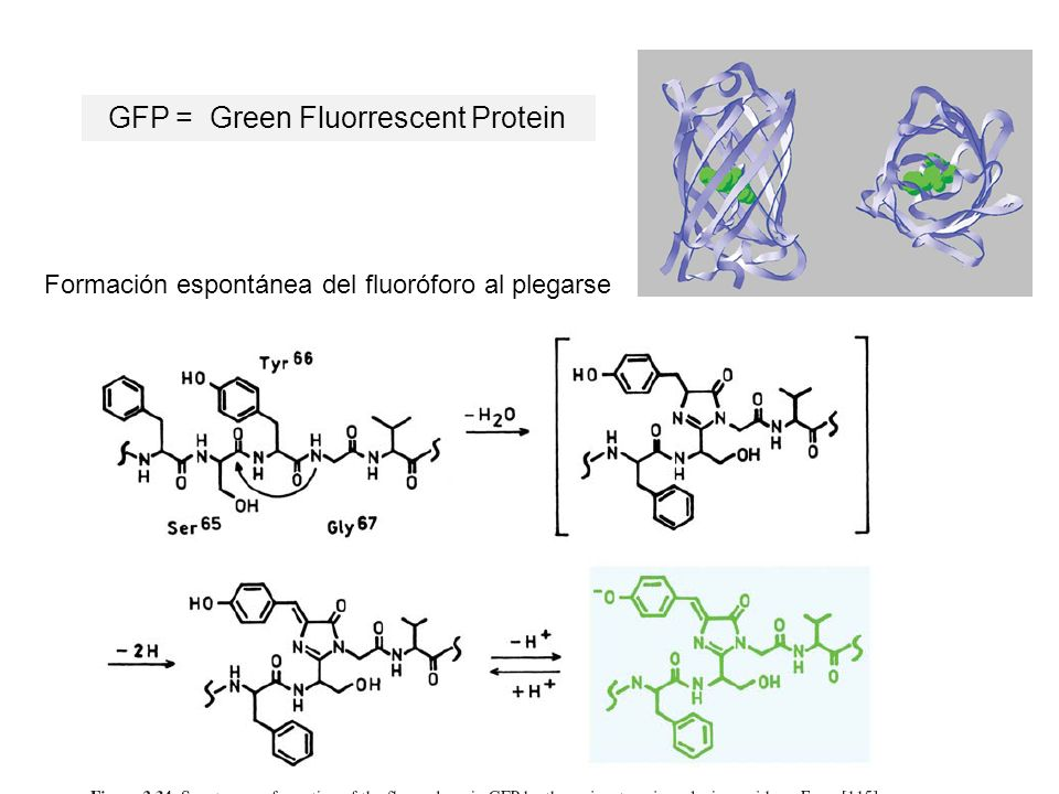 GFP = Green Fluorrescent Protein