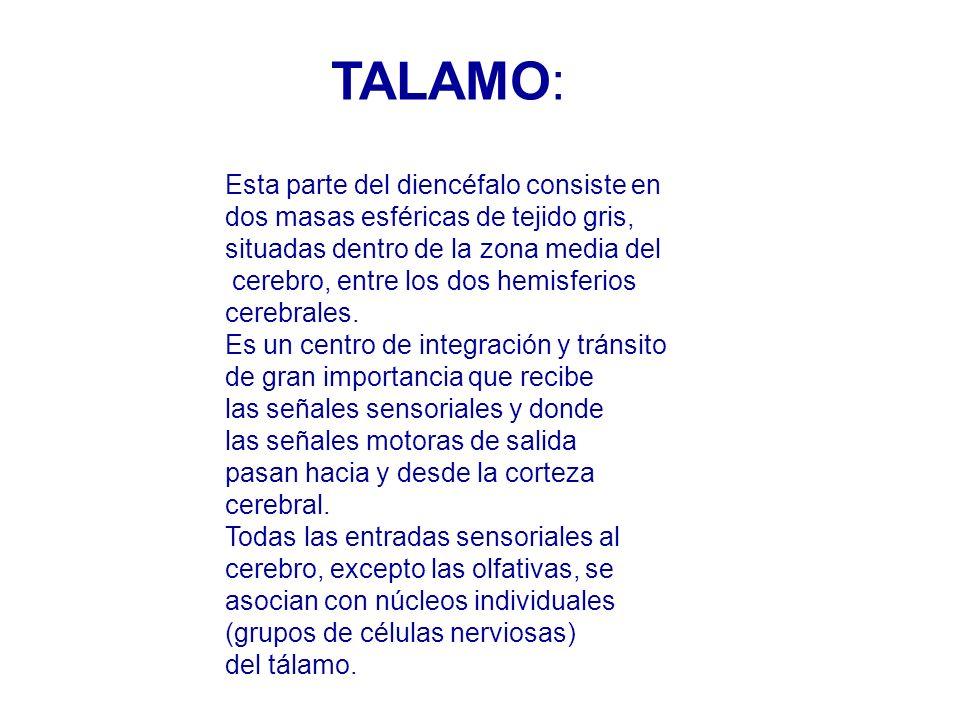 TALAMO: Esta parte del diencéfalo consiste en