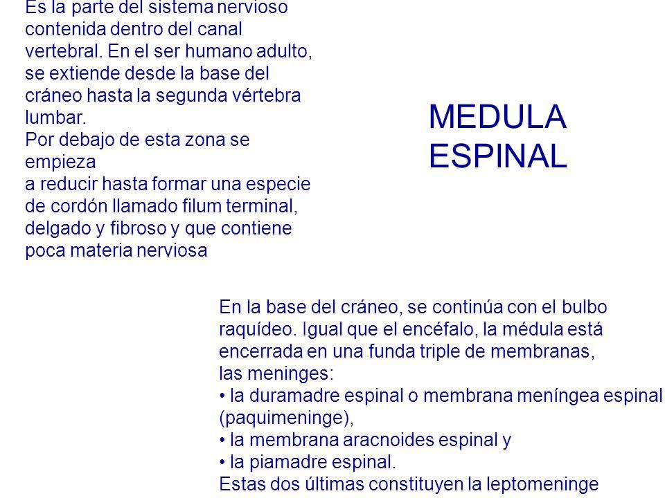 MEDULA ESPINAL Es la parte del sistema nervioso