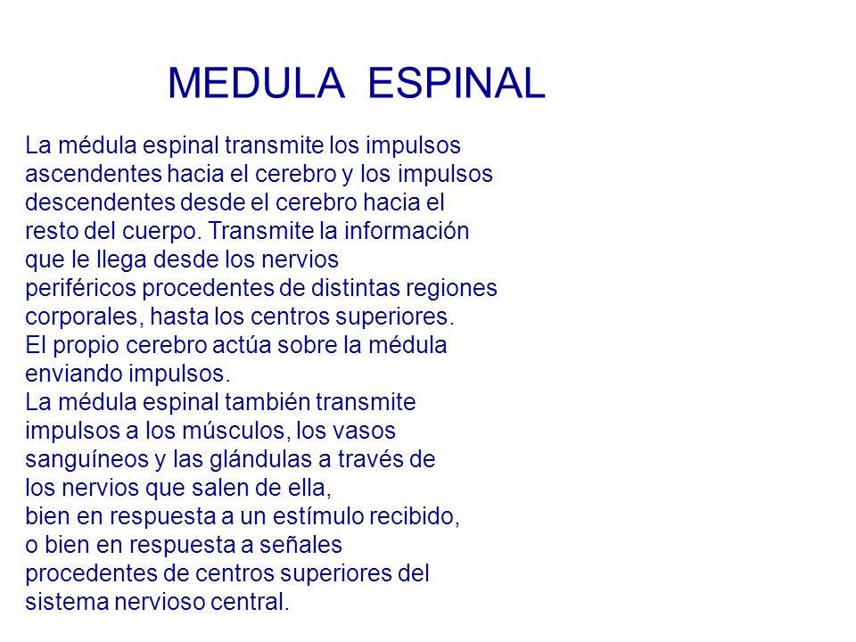 MEDULA ESPINAL La médula espinal transmite los impulsos