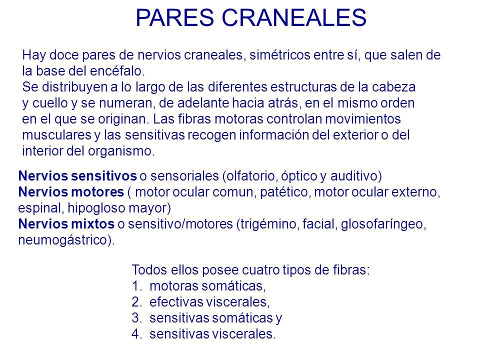 PARES CRANEALES Hay doce pares de nervios craneales, simétricos entre sí, que salen de. la base del encéfalo.