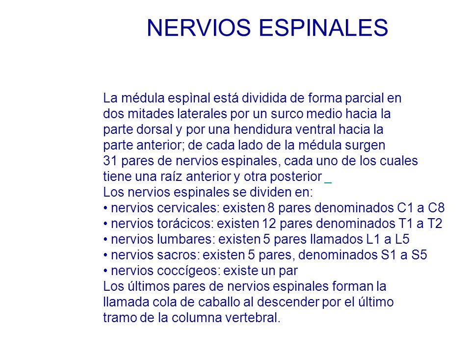 NERVIOS ESPINALES La médula espìnal está dividida de forma parcial en