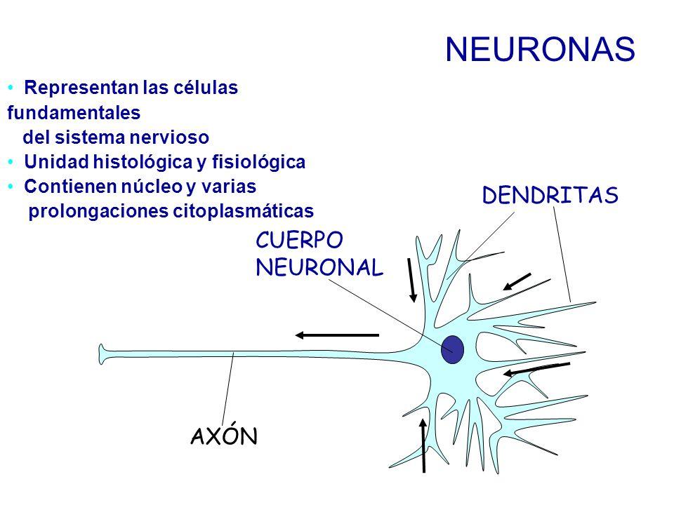 NEURONAS DENDRITAS CUERPO NEURONAL AXÓN