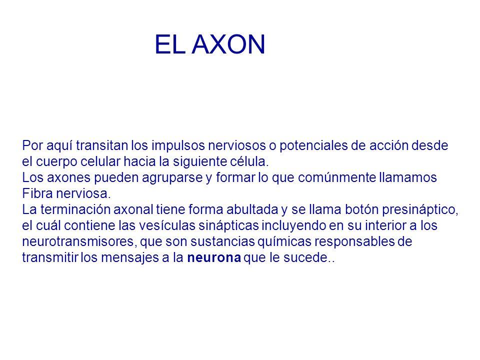EL AXON Por aquí transitan los impulsos nerviosos o potenciales de acción desde. el cuerpo celular hacia la siguiente célula.