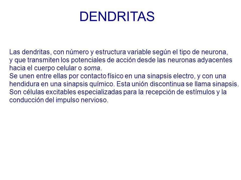 DENDRITAS Las dendritas, con número y estructura variable según el tipo de neurona,