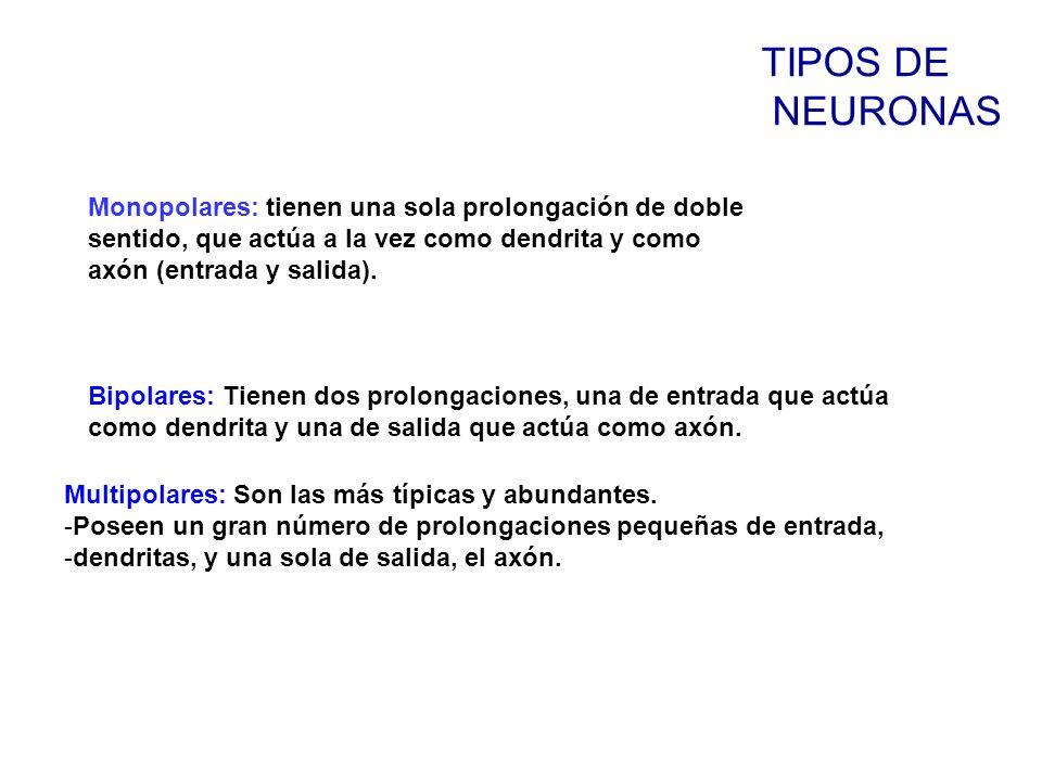TIPOS DE NEURONAS Monopolares: tienen una sola prolongación de doble sentido, que actúa a la vez como dendrita y como axón (entrada y salida).