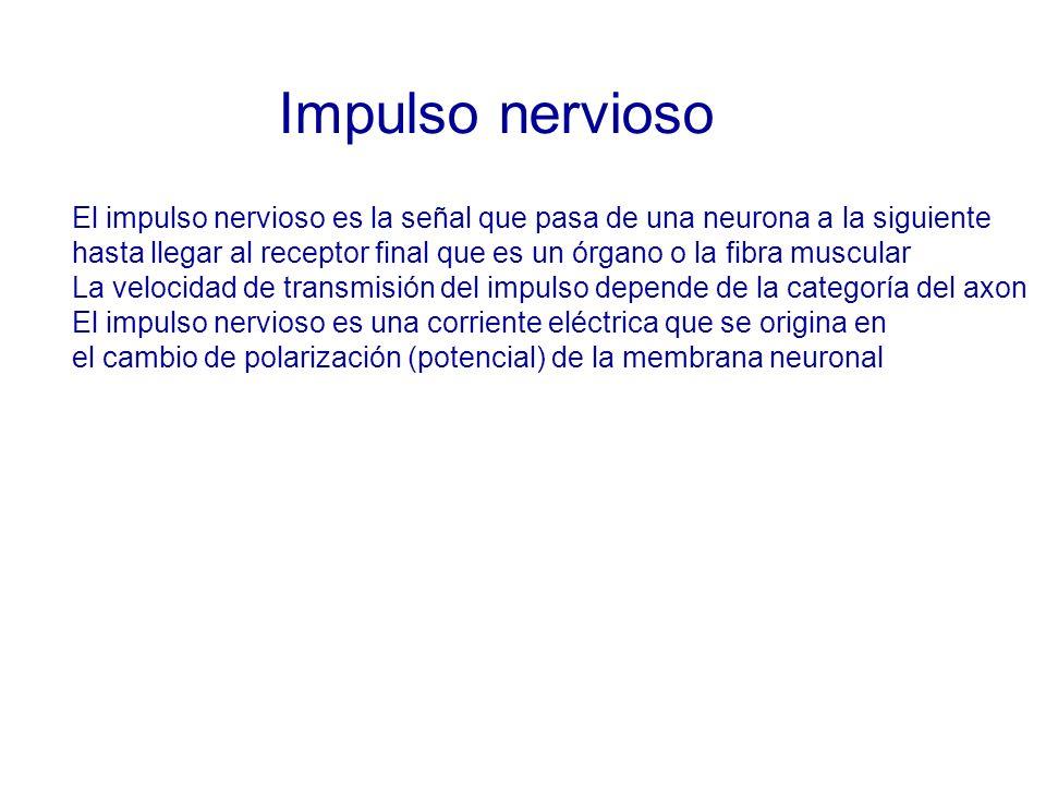 Impulso nervioso El impulso nervioso es la señal que pasa de una neurona a la siguiente.