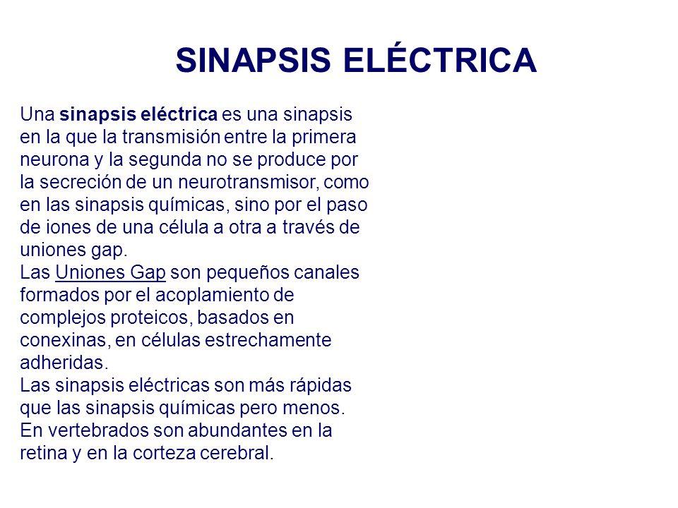 SINAPSIS ELÉCTRICA Una sinapsis eléctrica es una sinapsis en la que la transmisión entre la primera.