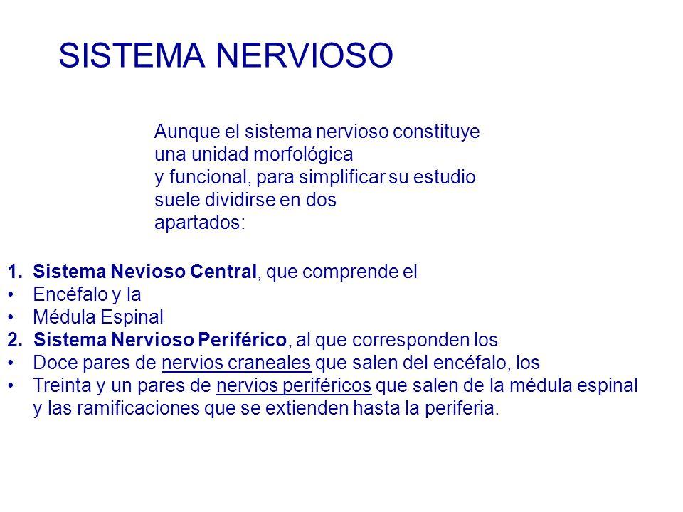 SISTEMA NERVIOSO Aunque el sistema nervioso constituye una unidad morfológica. y funcional, para simplificar su estudio suele dividirse en dos.