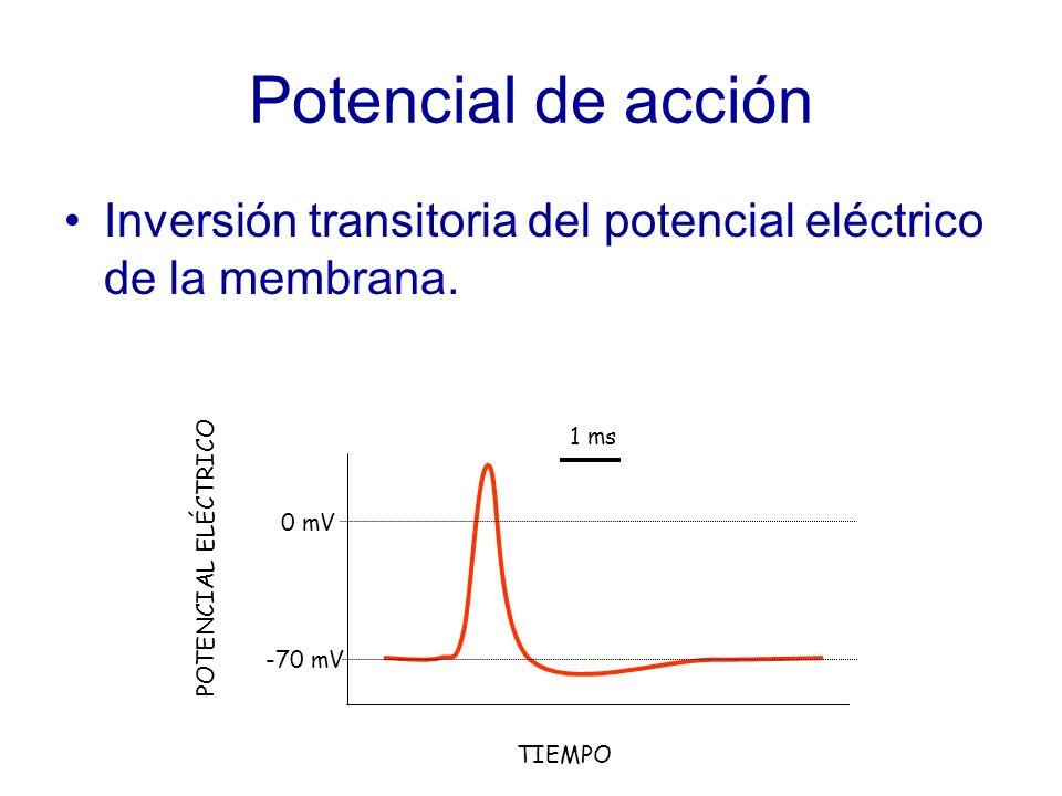 Potencial de acción Inversión transitoria del potencial eléctrico de la membrana. 1 ms. 0 mV. POTENCIAL ELÉCTRICO.