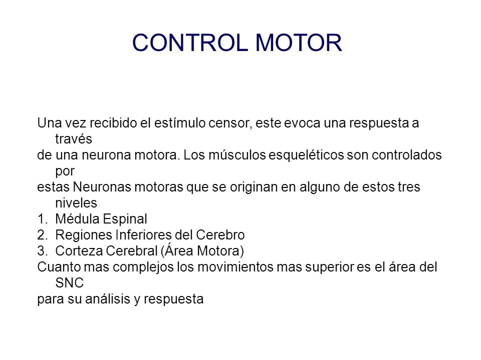 CONTROL MOTOR Una vez recibido el estímulo censor, este evoca una respuesta a través.