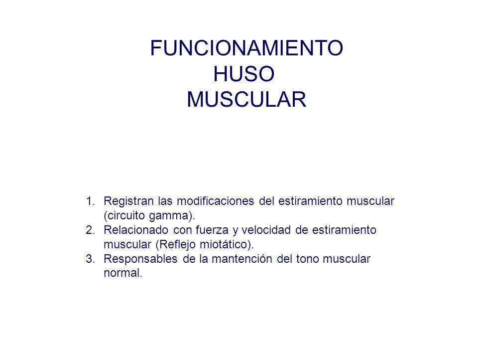 FUNCIONAMIENTO HUSO MUSCULAR