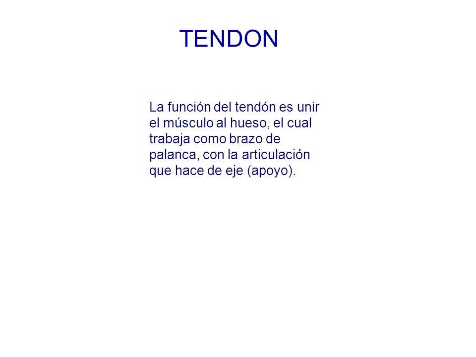 TENDON La función del tendón es unir el músculo al hueso, el cual trabaja como brazo de palanca, con la articulación que hace de eje (apoyo).