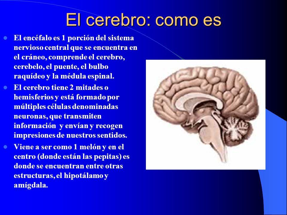 El cerebro: como es